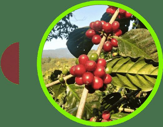 Cereza del café Quetzaltenango Guatemala