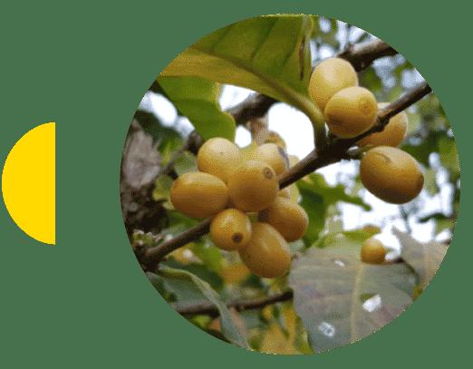 Cereza de café de la finca Magnolia Honduras Marcala